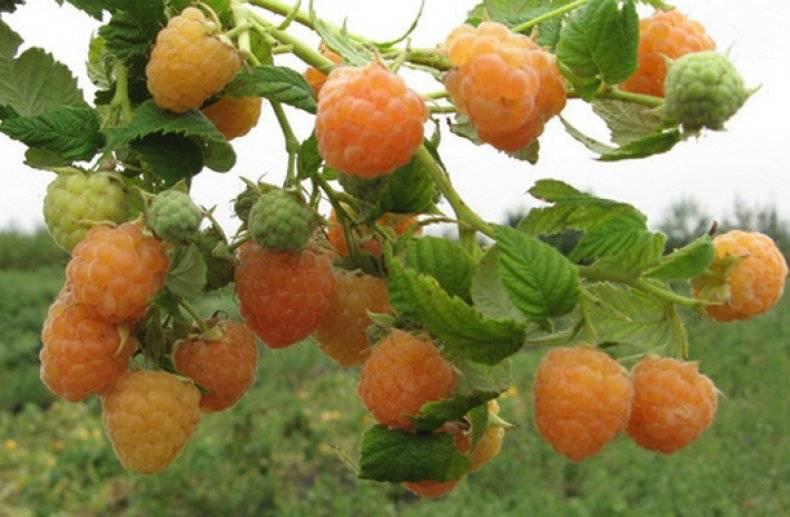 Жёлтая малина — сорта, выращивание и уход