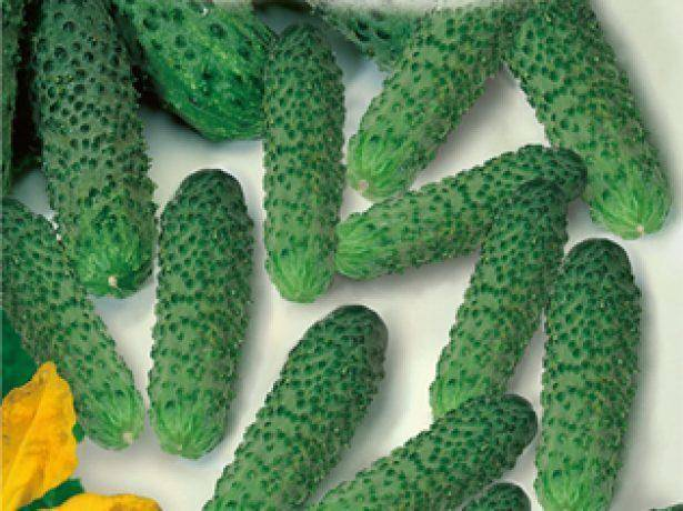 Описание сорта огурцов брейк, его характеристика и урожайность
