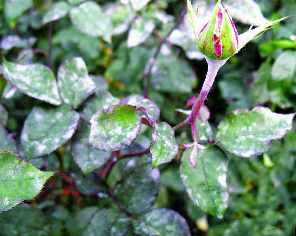 Меры борьбы с мучнистой росой на розах, что делать и чем лучше лечить