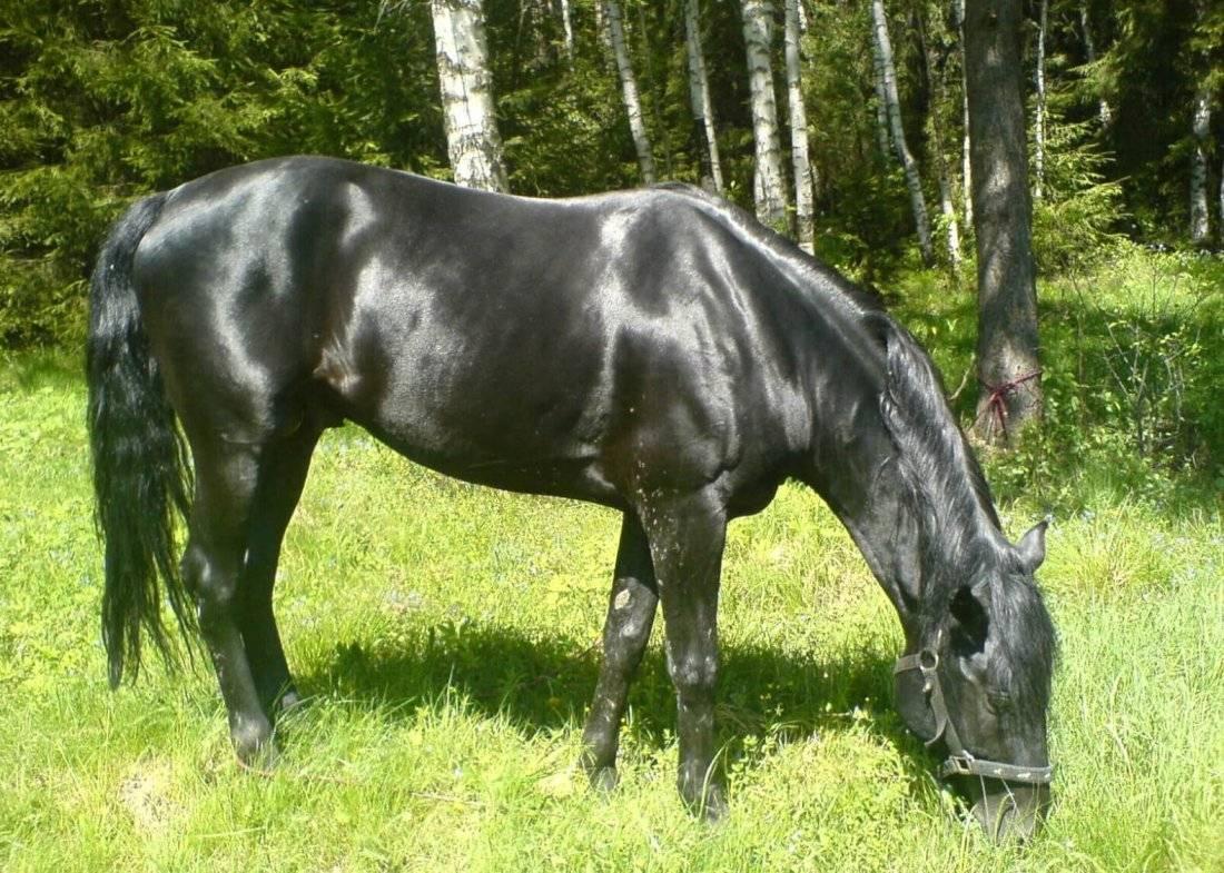 Кабардинская порода лошадей: характеристика, содержание и уход