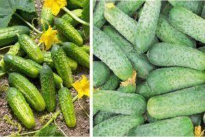 Почему огурцы в теплице растут крючком и что делать, чтобы не допустить деформации плодов