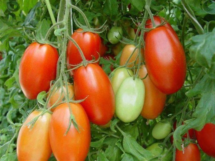 Гигантские сочные плоды с прекрасным вкусом — томаты особые f1: описание сорта и характеристики