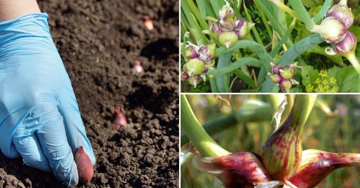 Посадка, выращивание и уход за многоярусным луком