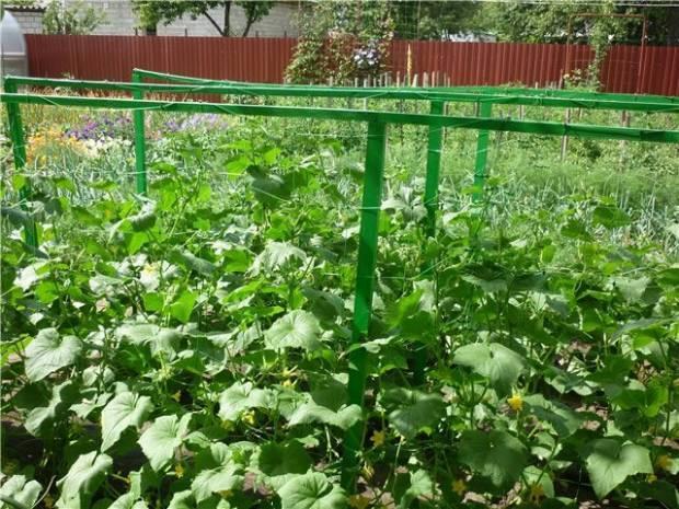 Выращиваем огурцы на шпалере в открытом грунте — секреты богатого урожая
