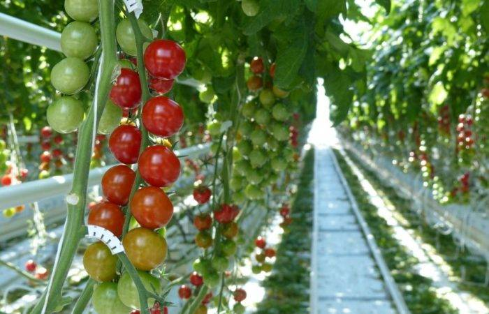 Секреты выращивания томатов дома на гидропонике