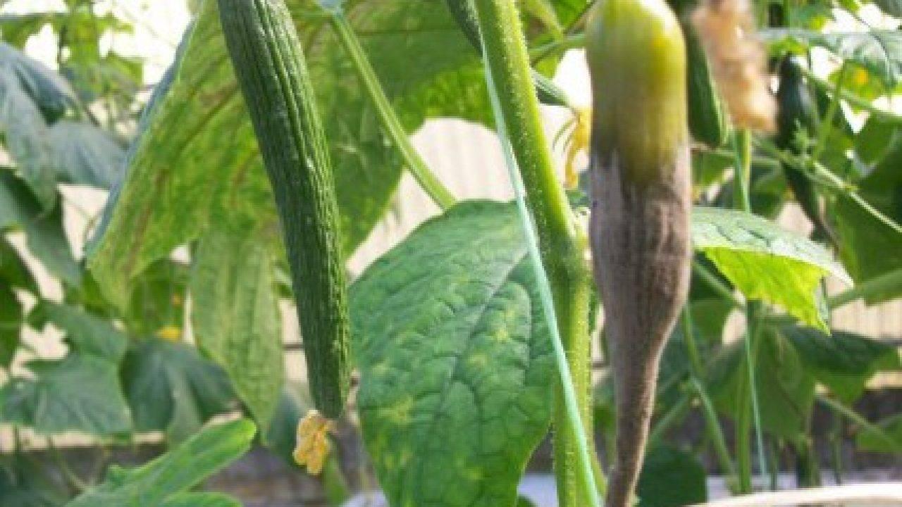Применение табачной пыли от вредителей в садоводстве: характеристики и рецепты