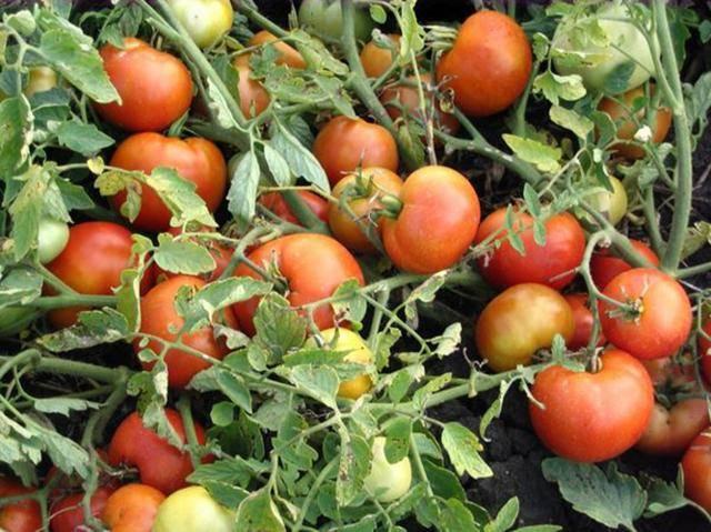 Раннеспелый сорт томатов агата — удачный выбор