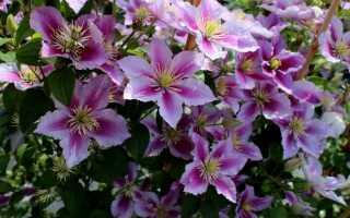 Клематис (clematis): секреты выращивания