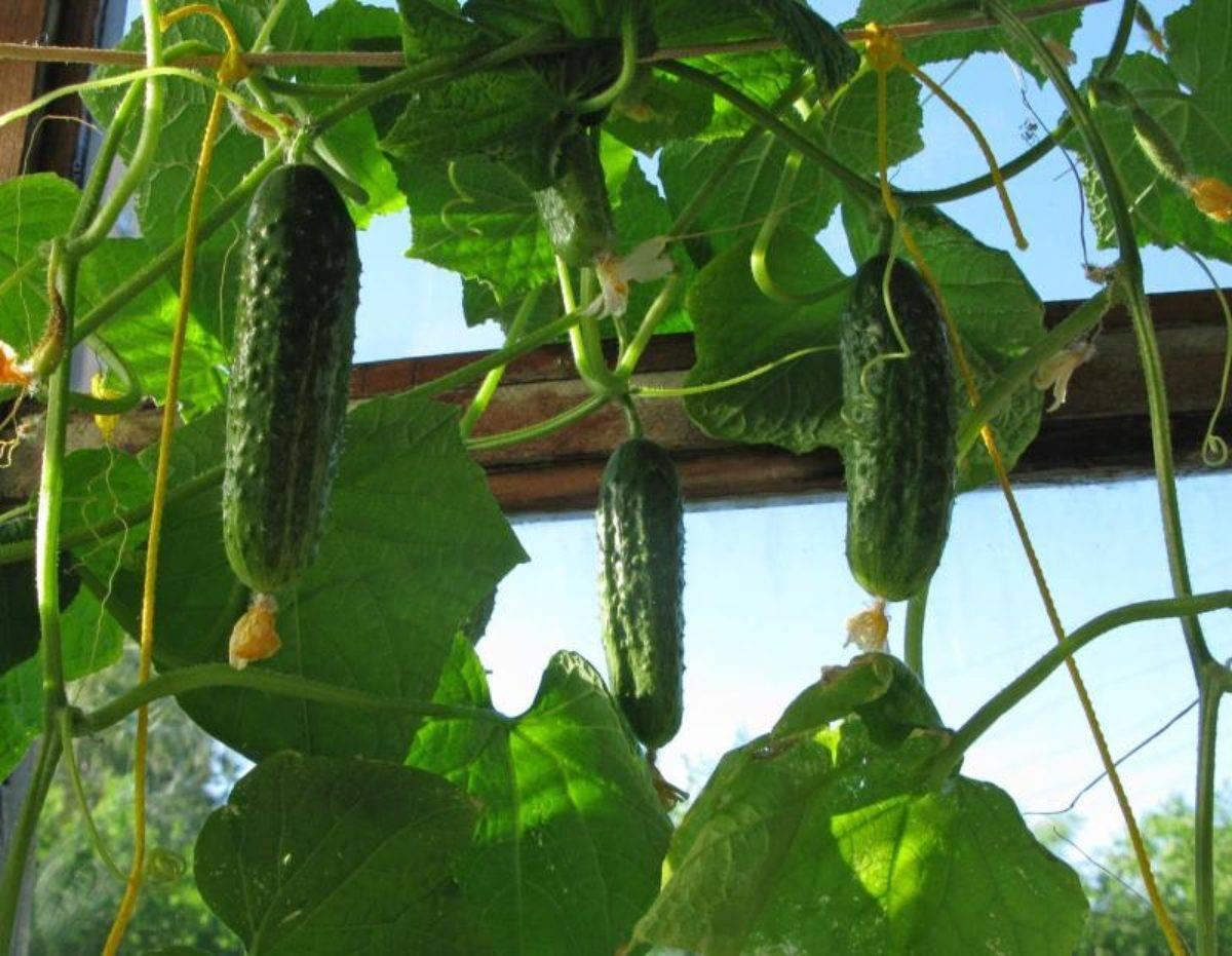 Как вырастить огурцы на балконе: пошаговая инструкция