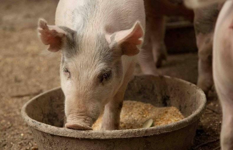 Комбикорм для свиней: промышленный и приготовленный в домашних условиях