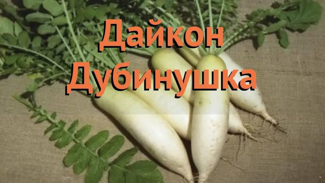 Выращивание дайкона и уход за ним в открытом грунте, когда сажать
