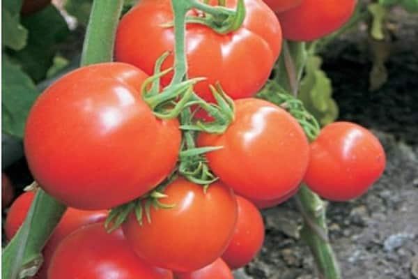 Характеристика томатов японских сортов