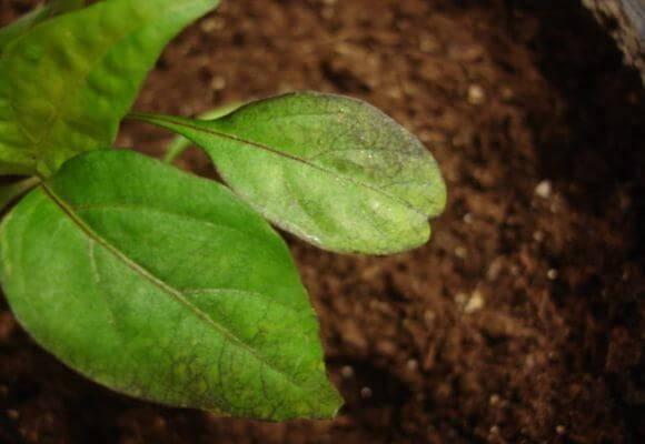 Почему у помидоров и перца скручиваются листья и что нужно делать?