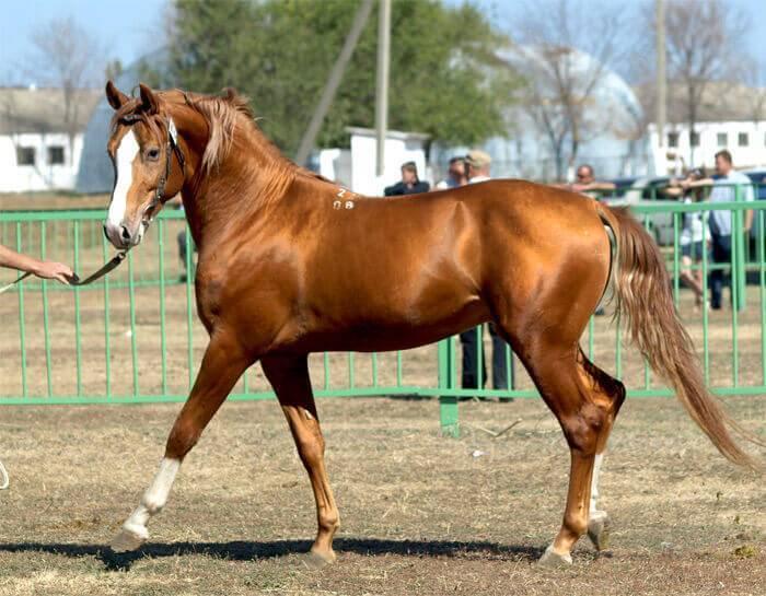 Характеристика и правила содержания лошадей буденновской породы и их цена