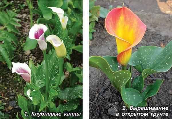 Калла в доме: причины отсутствия цветения и способы решения проблем