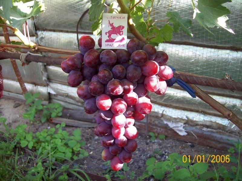 Виноград заря несветая — особенности сорта