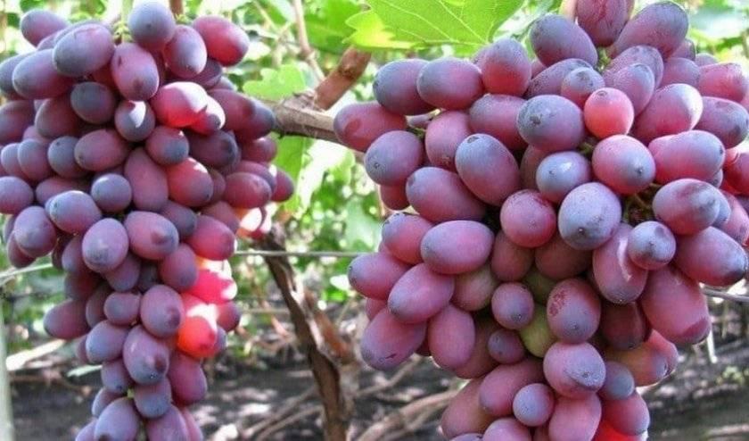 Описание винограда сорта диксон