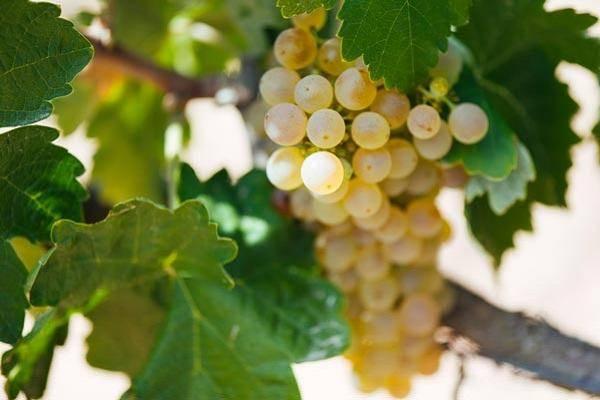 Обзор винограда лидия и правила его выращивания