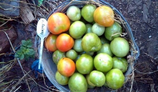 Характеристика томатов сорта «лабрадор»: описание, отзывы, фото