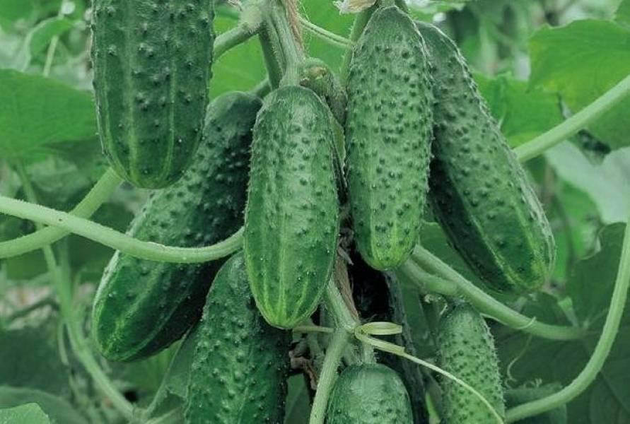 Высокоурожайный гибрид огурцов «журавленок f1»: фото, видео, описание, посадка, характеристика, урожайность, отзывы