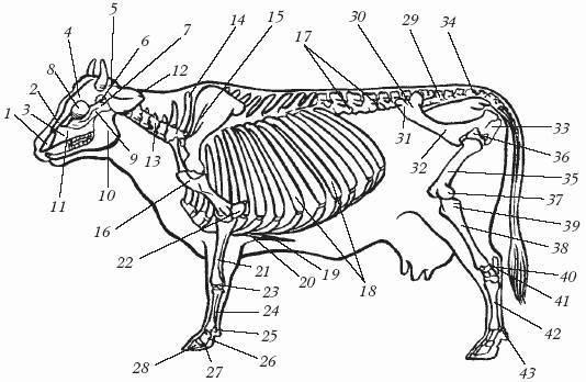 Строение скелета человека: скелет туловища, кости нижних и верхних свободных конечностей, кости черепа