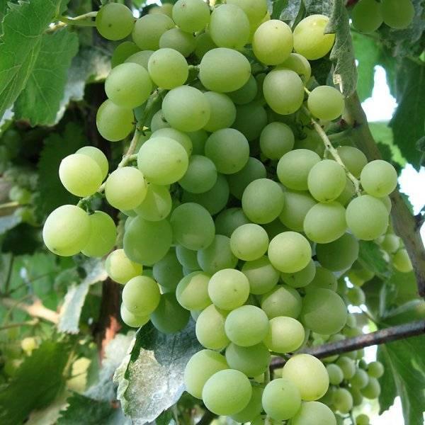 Лучшие морозостойкие сорта винограда