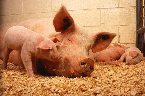 Через сколько гуляются свиньи