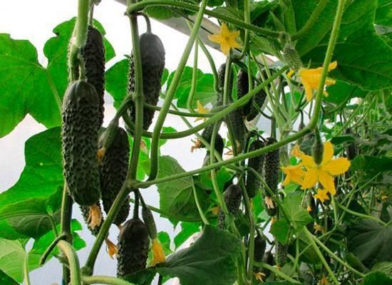 Голландские огурцы маша: особенности выращивания