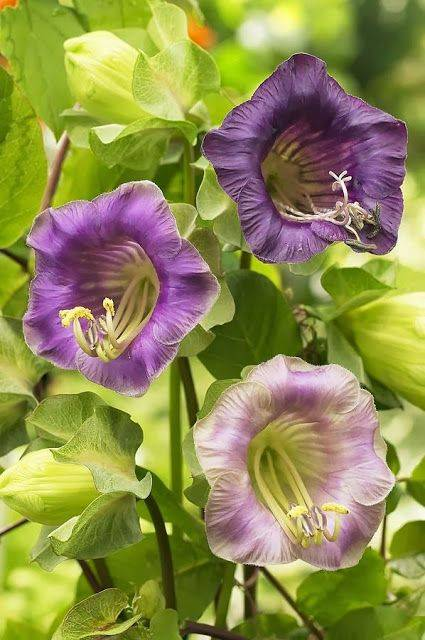 Кобея из семян: живая изгородь на раз-два-три
