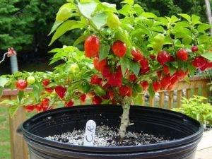 Выращивание в домашних условиях перца хабанеро