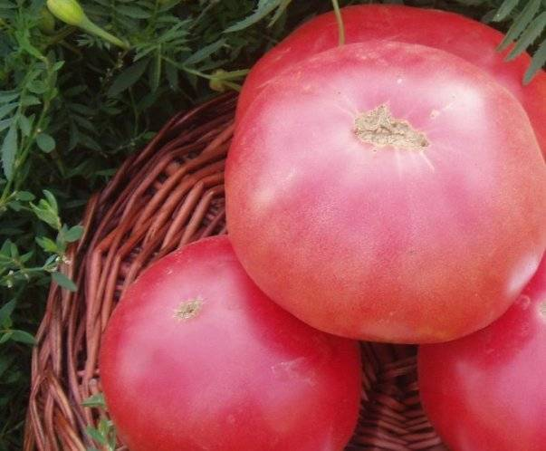 Характеристика и описание томата «абаканский розовый»