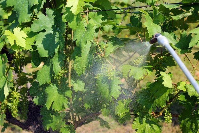 Обработка и опрыскивание винограда весной от болезней и вредителей