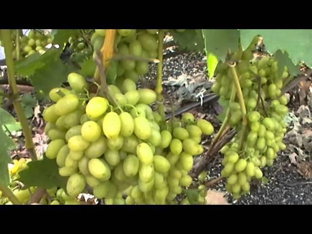 Виноград гарольд — достойный гибрид
