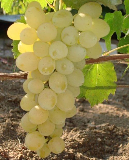 Описание и характеристики винограда арочный, история сорта и правила выращивания