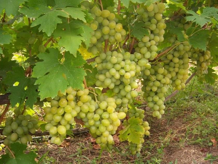 Сорт винограда «кристалл»