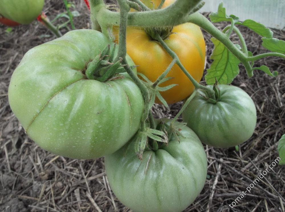 Находка для огородников — томат золотая теща: характеристика и описание сорта, выращивание и уход