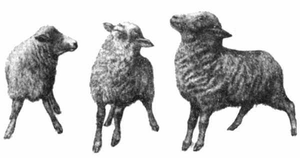 Заболевание овец эстроз: что это такое, исследование на наличие заражения, профилактика, лечение
