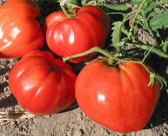 Характеристика и описание помидора «катя», отзывы и фото