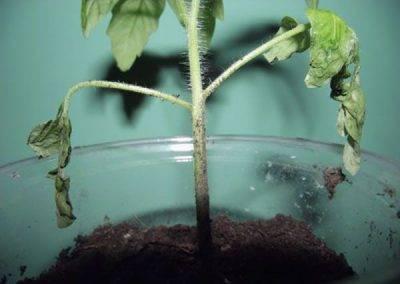 Болезни огурцов в теплице и открытом грунте: описание с фото