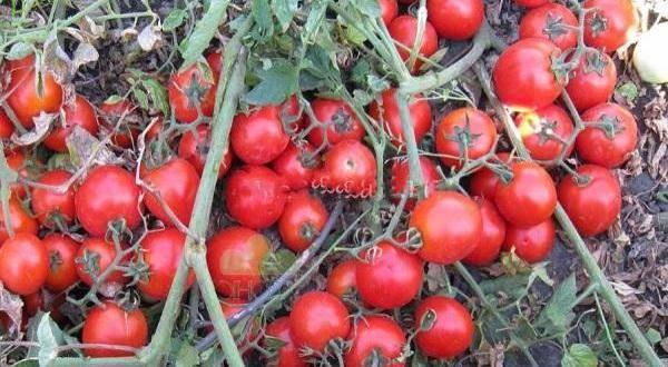 Томат фляшен описание. томат фляшен: описание сорта, отзывы, урожайность