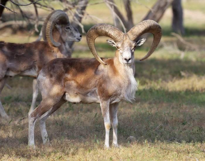 Муфлон животное. среда обитания и особенности муфлона