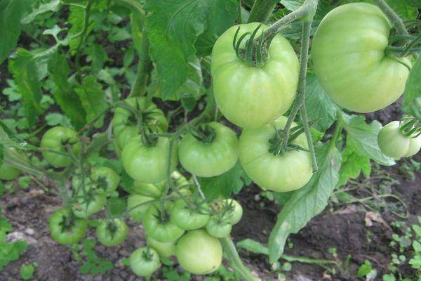 Описание томата буги-вуги, характеристика и особенность выращивания