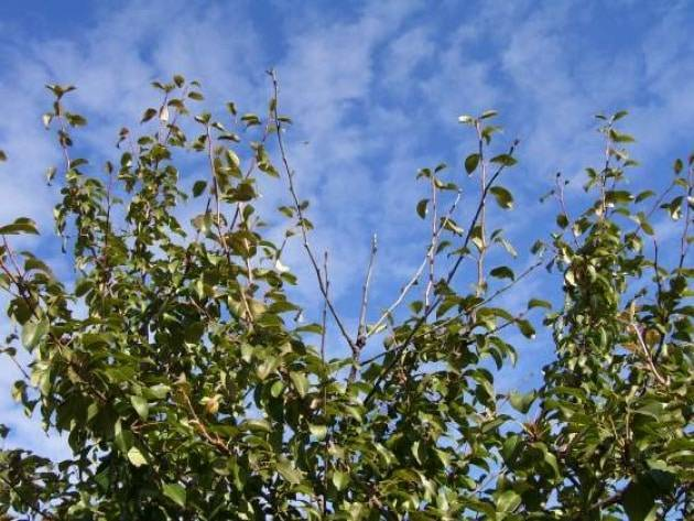 Почему у дерева яблони не развились листья – первая помощь при нарушении формирования листвы