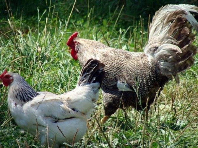 Как определить пол цыплёнка