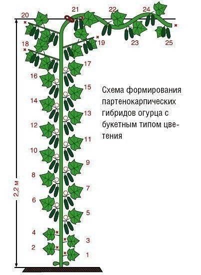 Партенокарпические сорта огурцов