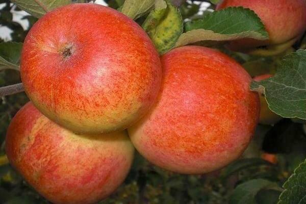 Зимняя яблоня моди