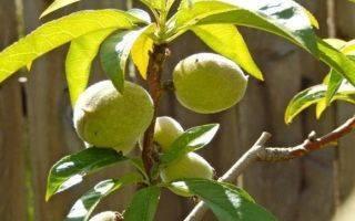 Обрезка персика весной: правила, особенности и советы для начинающих
