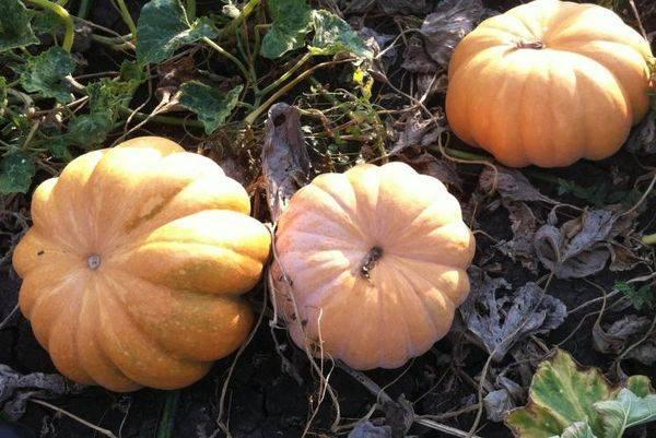 Тыква «серая волжская»: описание, выращивание, рецепты
