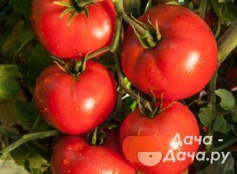 Томат красный охотник: характеристика и описание сорта, урожайность, фото