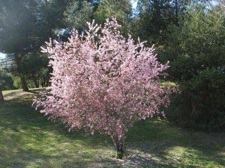 Описание и характеристики сорта вишни быстринка, история, особенности посадки и ухода